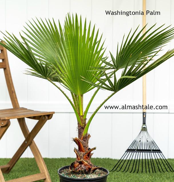 النخيل المروحي fan palm