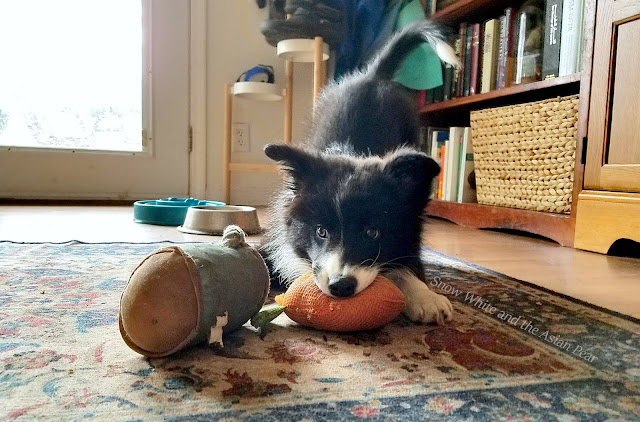 Tiny border collie puppy is fierce, and fluffy