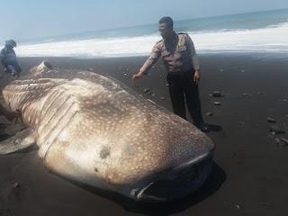 Seekor Ikan Hiu Paus Tutul Terdampar di Pesisir Pantai Desa Bades