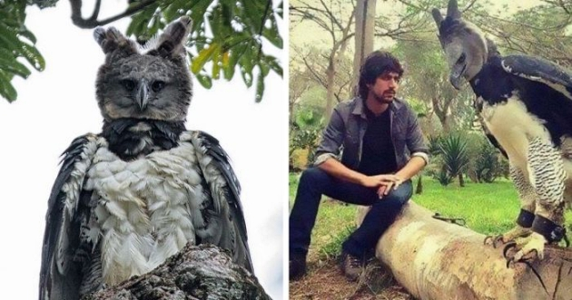 This Harpy Eagle Is So Big, It Looks Like A Human In A Costume