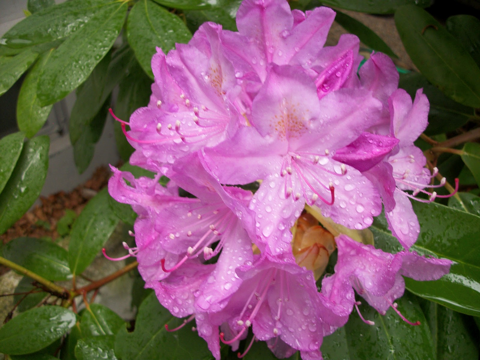 Writing Straight From The Heart: Rhododendron Bush ...