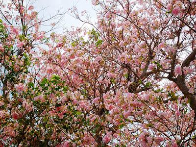 Pink Poi Tree