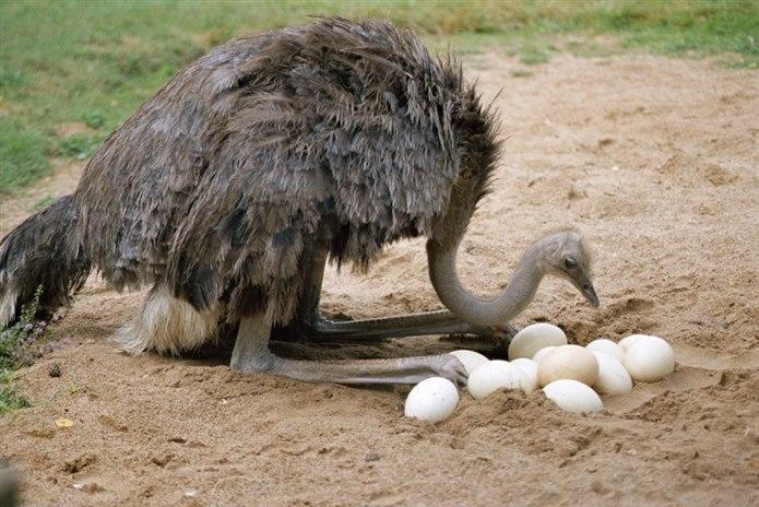 Deve Kuşu yumurtlayarak çoğalan hayvan türü