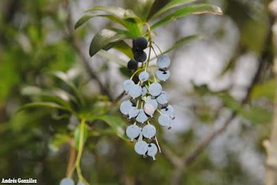 frutos de Berberis laurina