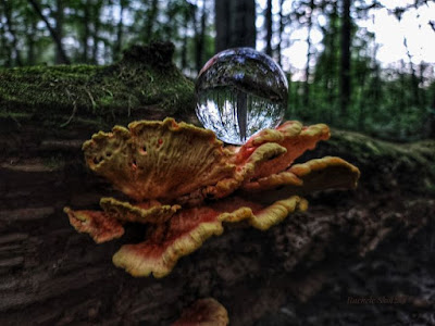 Laetiporus sulphureus (Chicken-of-the-woods mushroom)