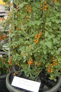 Tomatoes, W Robinson & Son
