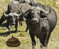 buffalos nepotism hindi story