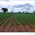 Aquecimento global antropogênico pode afetar a segunda safra de milho no Brasil
