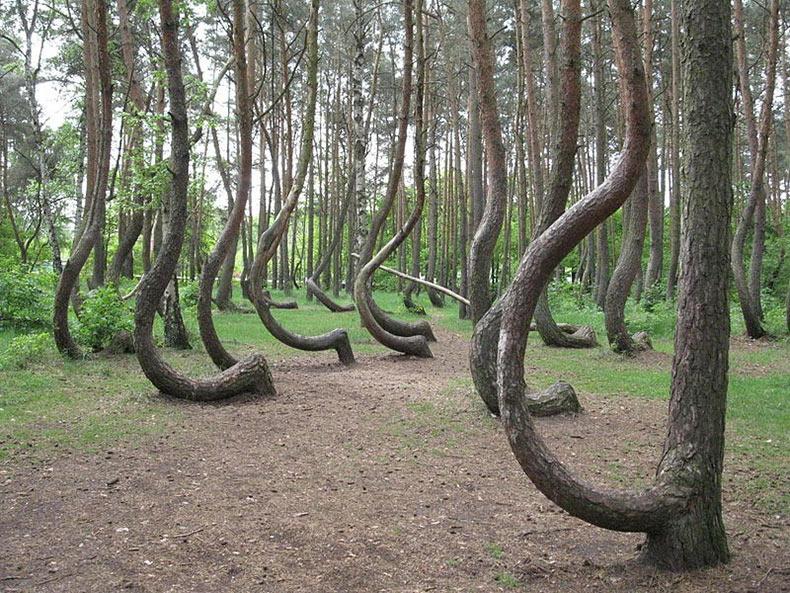 El bosque torcido de Gryfino | Polonia