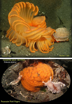 Two photos of Orange Sea Pens, each with a predator. These are the Striped Ndibranch and the Diamondback Tritonia. One of the sea pens is shown in its definsive retracted state.