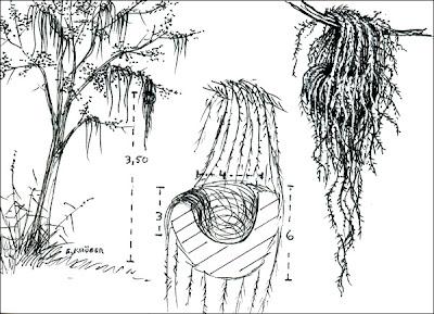 nido de Pitayumí Setophaga pitayumi