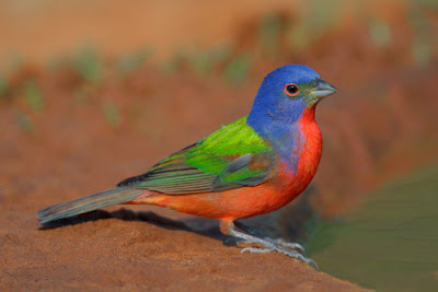 """Burung Painted Bunting"""