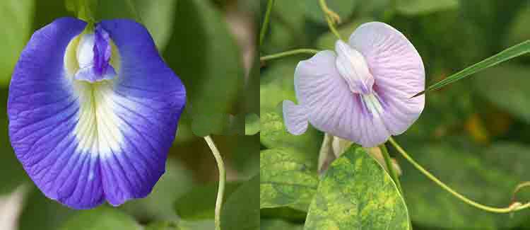Image result for अपराजिता(Megrin)