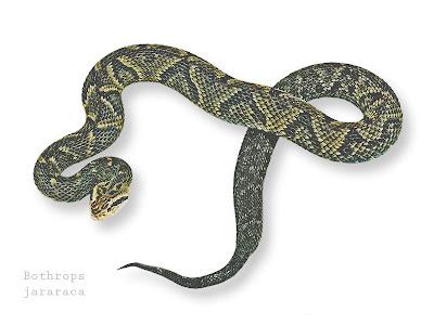 serpientes venenosas argentinas Yararaca Bothrops jararaca