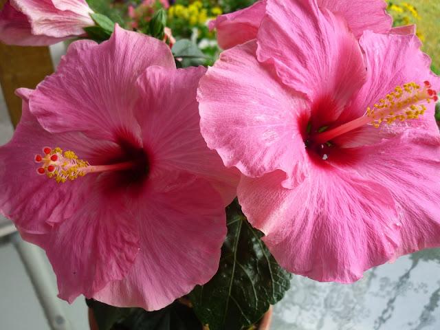 hibiscus tea : Heath Benefits