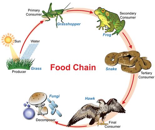 Rantai Makanan Pada Hewan Pengertian Rantai Makanan Rantai makanan adalah peristiwa makan dan dimakan sesama makhluk hidup yang berbeda jenis. Kelompok-kelompok tersebut adalah sebagai berikut : Produsen Produsesn adalah penghasil atau pembuat. Dalam proses rantai makanan, yang biasanya disebut sebagai produsen adalah makhluk hidup menghasil makanan pertama, yaitu rumput, pohon, padi, dan sebaganya.  Konsumen Konsumen adalah pemakai atau pengguna. Dalam proses rantai makanan, yang disebut sebagai konsumen adalah makhluk hidup yang memakan makanan hasil dari produsesn baik secara langsung maupun tidak langsung. Konsumen pun masih terbagi dalam beberapa tingkatan yang diantaranya adalah : Konsumen Tingkat Pertama Konsumen tingkat pertama adalah pemakan langsung dari hasil produsen. Contoh : ulat, belalang, tikus, dan sebagainya. Konsumen Tingkat Kedua Konsumen tingkat kedua adalah pemakan dari hasil konsumen tingkat pertama. Contoh : ular, rubah, burung pemangsa, dan sebagainya. Konsumen Tingkat Ketiga Konsumen tingkat ketiga adalah pemakan dari hasil konsumen tingkat kedua. Contoh : burung elang, singa, beruang, dan sebagainya.  Pengurai Pengurai adalah makhluk hidup yang mampu menguraikan zat-zat pada makhluk hidup yang sudah mati untuk menjadi sumber makanannya. Contoh : bakteri, jamur, dan sebagainya.  Jejaring Rantai Makanan Yang dimaksudkan dengan jejaring makanan adalah terdapatnya beberapa rantai makanan dalam sebuah jaring-jaring makanan yang saling berhubungan. Bila salah satu ada yang terputus, maka akan mengakibatkan kepunahan atau perbanyakan pada hewan tertentu. Hal demikian ini dapat mengganggu ekosistem.  Dalam jejaring rantai makanan di gambarkan sebagai berikut ini : Tumbuhan ➝ tikus ➝ burung elang ➝ pengurai Tumbuhan ➝ tikus ➝ ular ➝ burung elang ➝ pengurai Tumbuhan ➝ belalang ➝ katak ➝ ular ➝ burung elang ➝ pengurai Tumbuhan ➝ kupu-kupu ➝ katak ➝ ular ➝ burung elang ➝ pengurai Tumbuhan ➝ kupu-kupu ➝ capung ➝ katak ➝ ular ➝ burung elang ➝ pengurai  