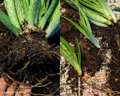 Baby aloe plants, how to cut off mother plant