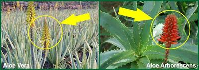 Le differenze tra Aloe Vera e Aloe Arborescens