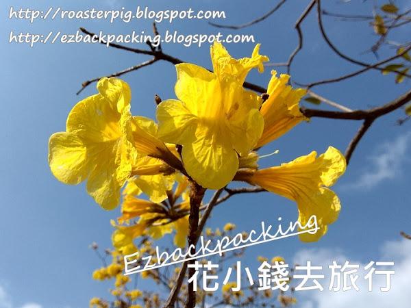 2021年香港風鈴木開花情報:3月5日黃花+紫花風鈴木