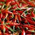Budidaya Cabai Rawit Merah dalam Pot