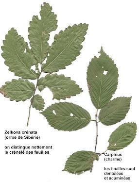 Zelkova crenata - Cheverny