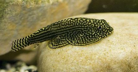 cá tỳ bà bướm nhỏ nhắn rất thích hợp nuôi trong hồ thủy sinh