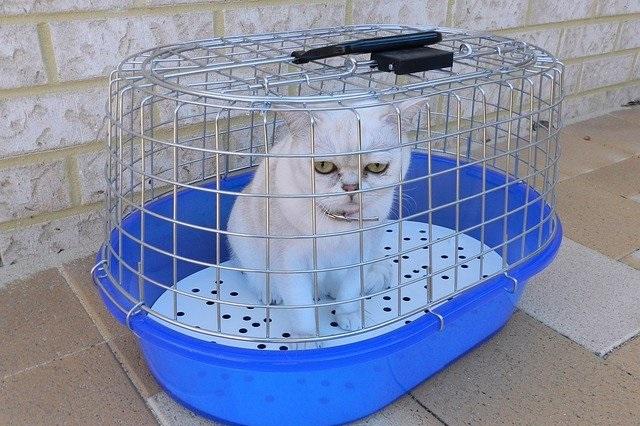 Distemper pada kucing