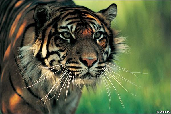 Gambar Binatang Harimau Bali