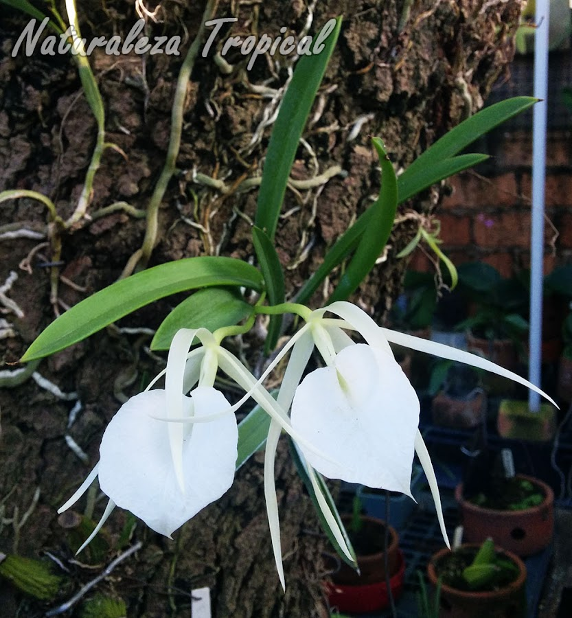 Orquídea del género Brassavola