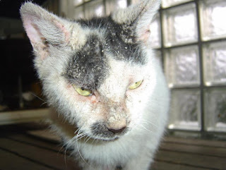 Perbedaan Scabies dan Jamur Pada Kucing