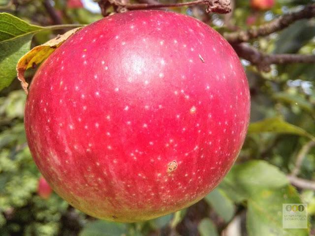 przepis na kruche ciasto z jabłkami