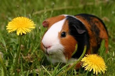 American short hair guinea pig in grass
