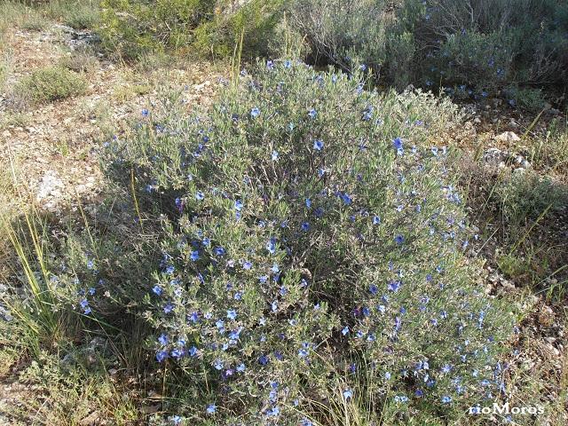 Mata de Asperones Lithodora fruticosa