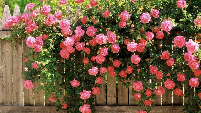 Grote struik roze rozen hangen over schutting
