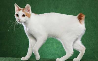 gato-bobtail-raza-caracteristicas
