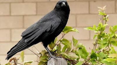 Misteri Burung Gagak, Pembawa Tanda Kematian