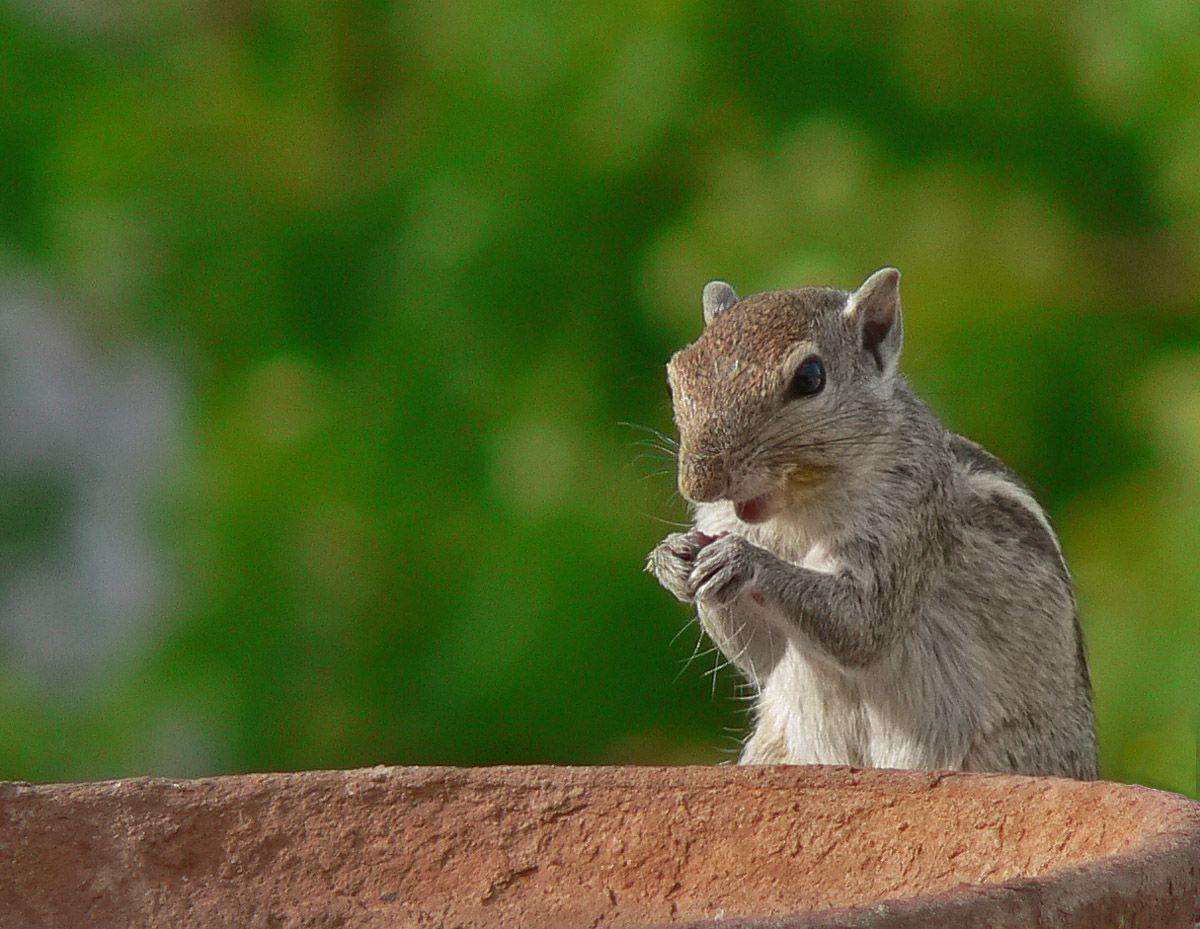 Indian Palm Squirrel Animal Wildlife