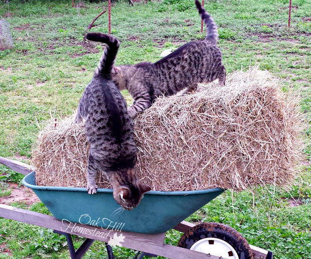Why your homestead needs a cat carrier.