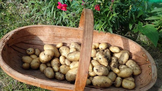 Nicola Potatoes
