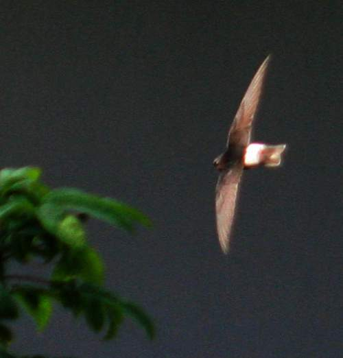 Birds of India - Photo of Little swift - Apus affinis