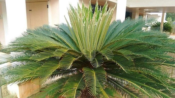 cycas species, name genus cycas, family cycadaceae cycas, genus cycas history, genus cyathea, cycas phylum