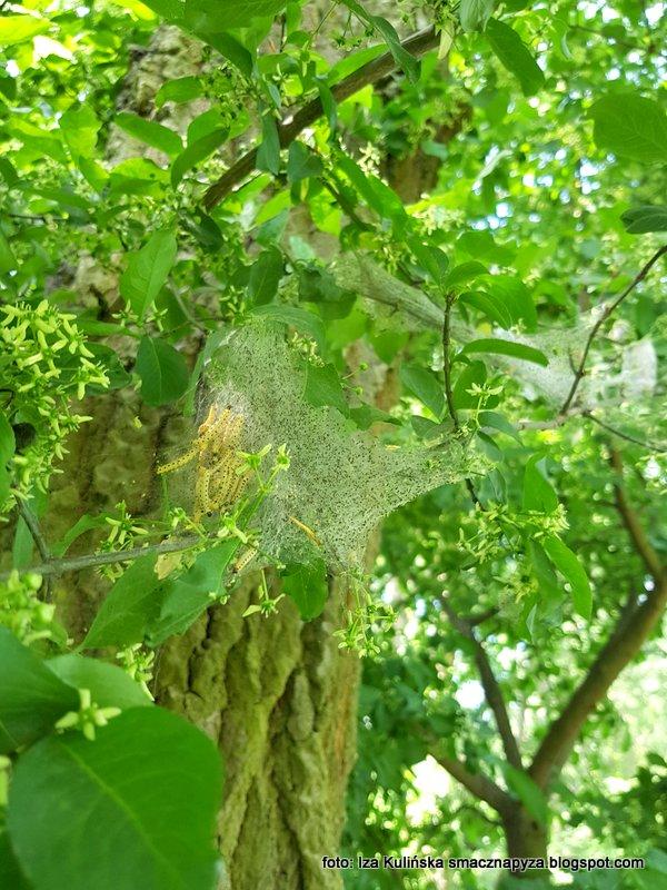 owady, larwy, pajeczyna, pasozyty, na krzewie, na drzewie, szkodniki, szkodnik