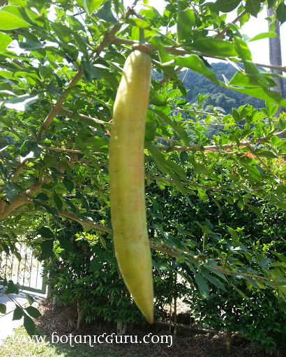 Parmentiera cereifera, Candle Tree fruit