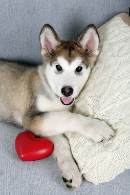 A malamute puppy lies on the settee, with a cushion and a red heart toy. Top tips on puppies