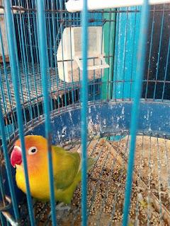 foto lovebird kepala emas