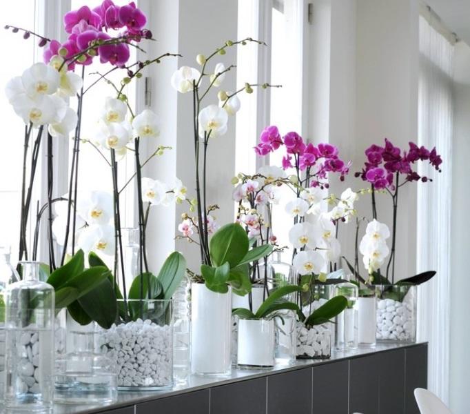 """Tanaman hias indoor Orchidaceae """"Anggrek"""""""