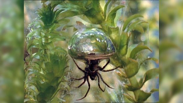 diving bell spider in hindi