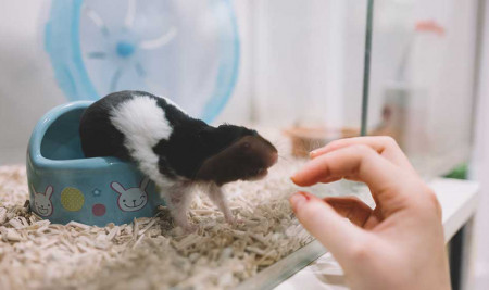 Cara Memandikan Hamster yang Aman dan Bersih