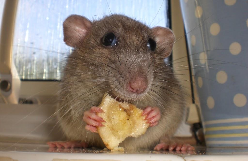 Tikus Memakan Sabun