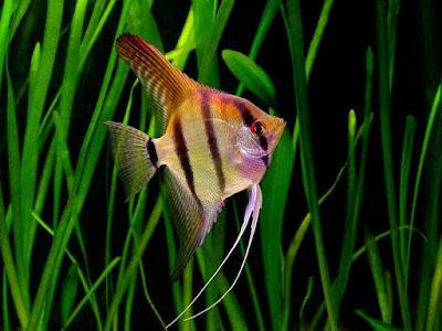 Angelfish / Manfish